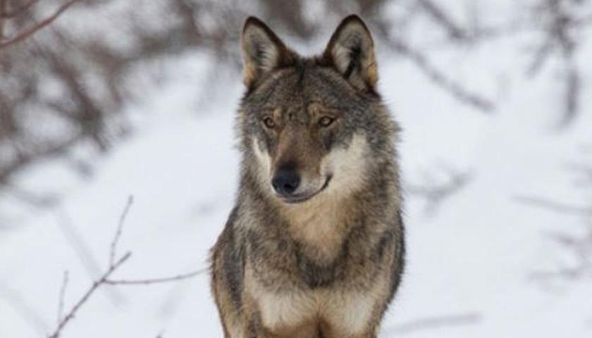 "Il lupo ""scomodo"" e i perseguitati (umani e animali)"